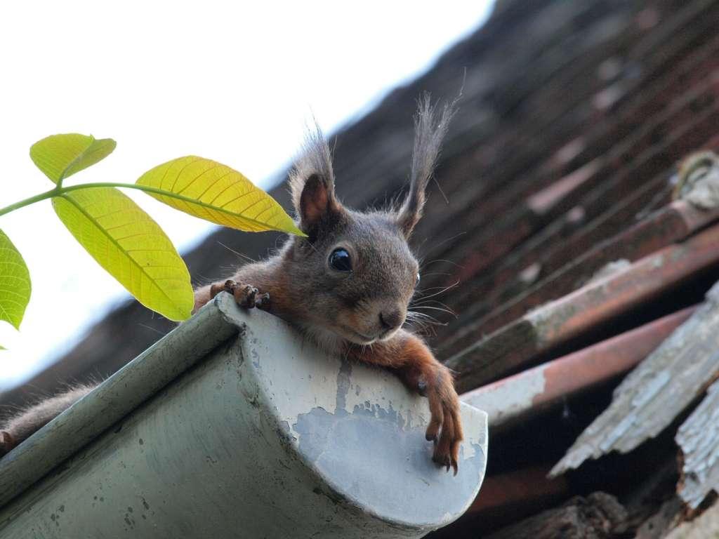 Squirrel in gutter blocking the drain